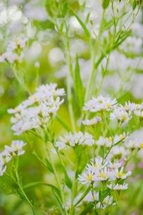 可憐に咲くシオンの花の写真素材 [FYI01815066]