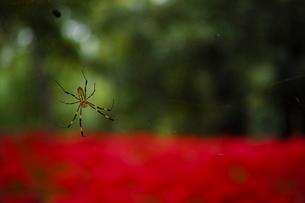 彼岸花の上で巣を張るジョロウグモの写真素材 [FYI01815237]