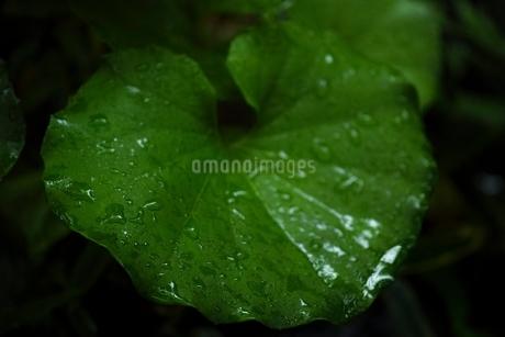 しっとりと濡れたツワブキの葉の写真素材 [FYI01815407]