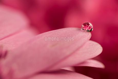 花と滴の写真素材 [FYI01816180]