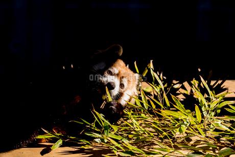 レッサーパンダの写真素材 [FYI01816251]