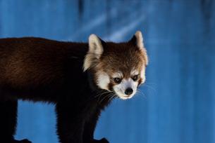 レッサーパンダの写真素材 [FYI01816289]