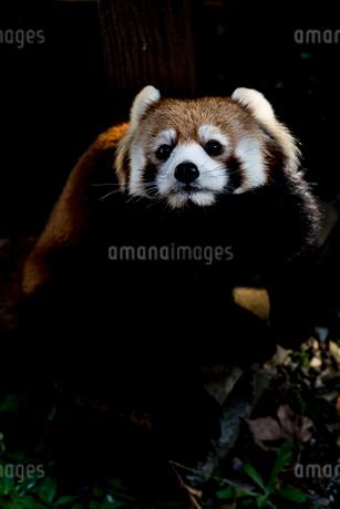 レッサーパンダの写真素材 [FYI01816291]