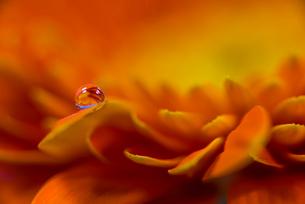 花と滴の写真素材 [FYI01816292]