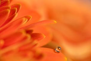 花と滴の写真素材 [FYI01816324]