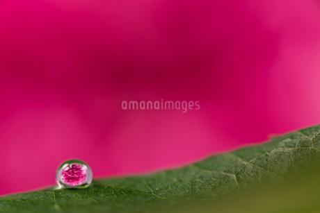 花と滴の写真素材 [FYI01816351]