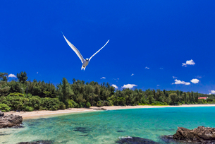 沖縄県 エリグロアジサシの写真素材 [FYI01816369]