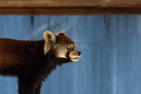 レッサーパンダの写真素材 [FYI01816384]