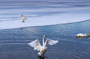 北海道 屈斜路湖 オオハクチョウの写真素材 [FYI01816400]