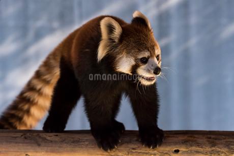 レッサーパンダの写真素材 [FYI01816413]