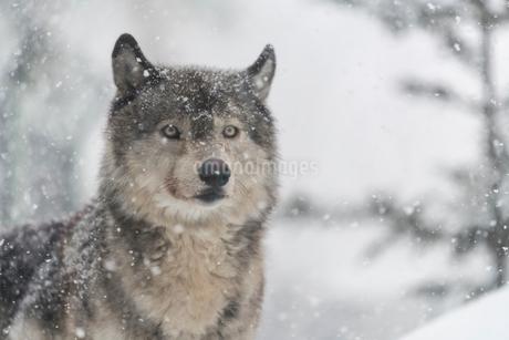 オオカミの写真素材 [FYI01816453]