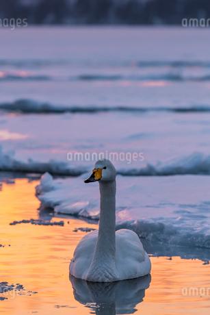 北海道 屈斜路湖 オオハクチョウの写真素材 [FYI01816478]