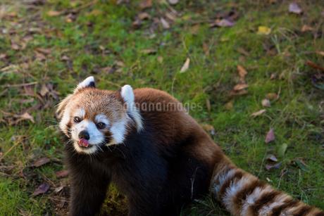レッサーパンダの写真素材 [FYI01816489]