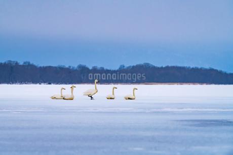 北海道 屈斜路湖 オオハクチョウの写真素材 [FYI01816524]