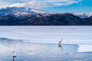 北海道 屈斜路湖 オオハクチョウの写真素材 [FYI01816525]