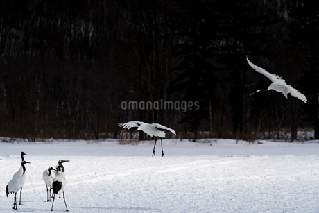 北海道 釧路市 タンチョウの写真素材 [FYI01816551]