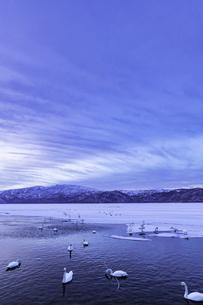 北海道 屈斜路湖 オオハクチョウの写真素材 [FYI01816562]