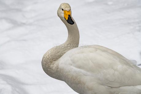 北海道 屈斜路湖 オオハクチョウの写真素材 [FYI01816575]