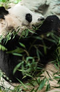 パンダの写真素材 [FYI01816583]
