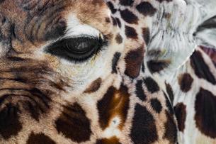 キリンの写真素材 [FYI01816602]