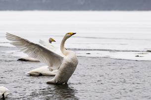 北海道 屈斜路湖 オオハクチョウの写真素材 [FYI01816640]