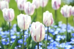 チューリップの花の写真素材 [FYI01816651]