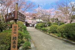 根来寺大塔とサクラの写真素材 [FYI01816665]