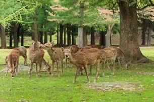 奈良公園のシカとサクラの写真素材 [FYI01816676]