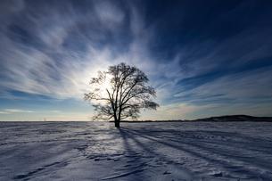 北海道 豊頃町 はるにれの木の写真素材 [FYI01816677]