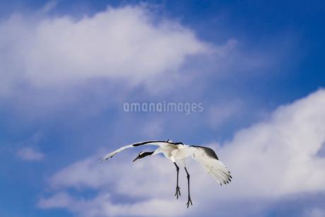 北海道 釧路市 タンチョウの写真素材 [FYI01816679]