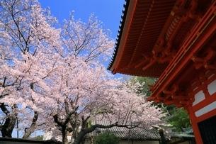 紀三井寺楼門とサクラの写真素材 [FYI01816690]