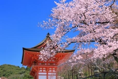清水寺の仁王門とサクラの写真素材 [FYI01816717]