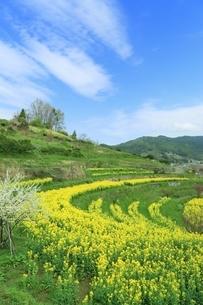 ナノハナ畑と田園風景の写真素材 [FYI01816724]