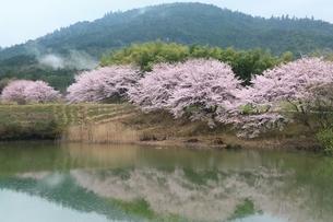 井寺池のサクラと三輪山の写真素材 [FYI01816731]
