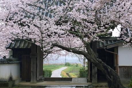 サクラ咲く橘寺の写真素材 [FYI01816734]