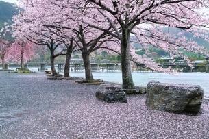 雨の嵐山公園・サクラと渡月橋の写真素材 [FYI01816738]