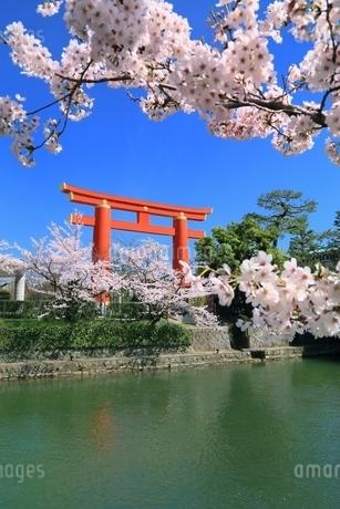 岡崎疎水・桜回廊と平安神宮の鳥居の写真素材 [FYI01816753]