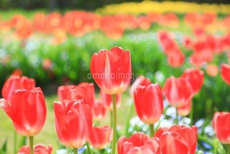 チューリップの花の写真素材 [FYI01816757]