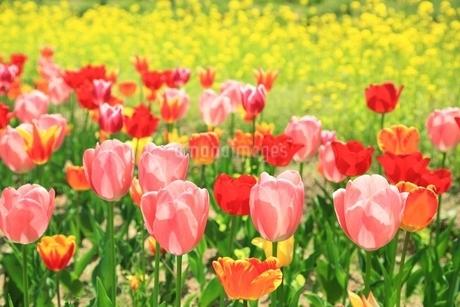 チューリップの花とナノハナの写真素材 [FYI01816772]