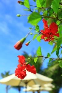 ハイビスカスの花にパラソルの写真素材 [FYI01816775]