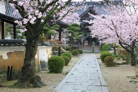 サクラ咲く橘寺の写真素材 [FYI01816784]
