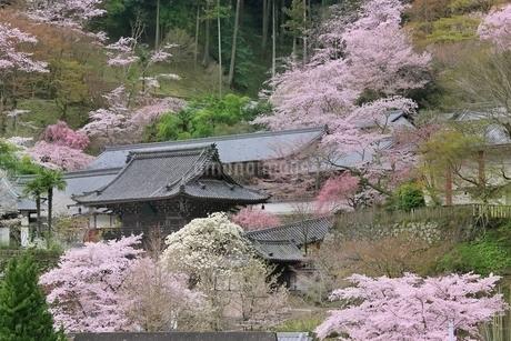 サクラ咲く長谷寺の写真素材 [FYI01816789]