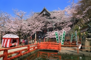 紀三井寺本堂とサクラの写真素材 [FYI01816810]