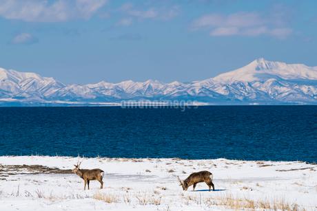 北海道 野付半島 エゾシカの写真素材 [FYI01816815]