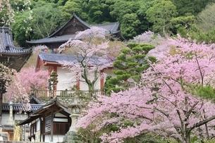 サクラ咲く長谷寺の写真素材 [FYI01816818]
