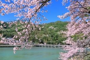 嵐山公園のサクラと渡月橋の写真素材 [FYI01816825]