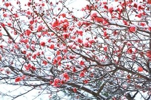 奈良公園 梅に雪の写真素材 [FYI01816841]