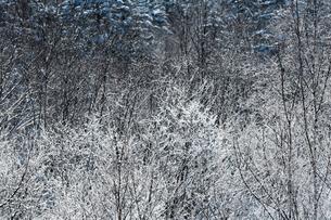 北海道 霧氷の写真素材 [FYI01816850]