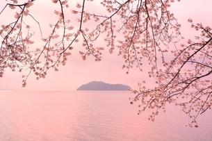 海津大崎のサクラの写真素材 [FYI01816873]