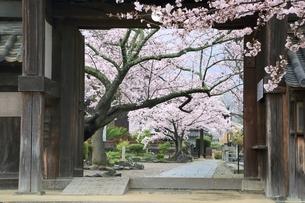 サクラ咲く橘寺の写真素材 [FYI01816892]
